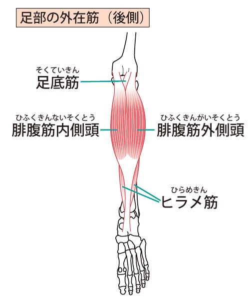 ふくらはぎの筋肉構造