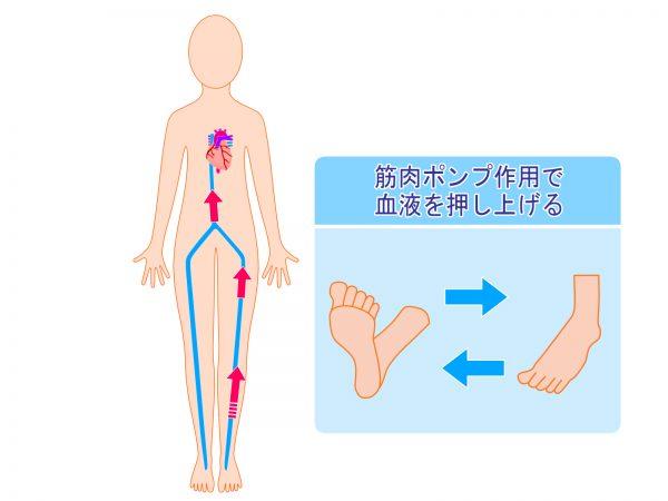 ふくらはぎの筋肉の仕組み
